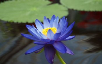 159 lotus hd wallpapers background images wallpaper abyss hd wallpaper background image id324567 mightylinksfo