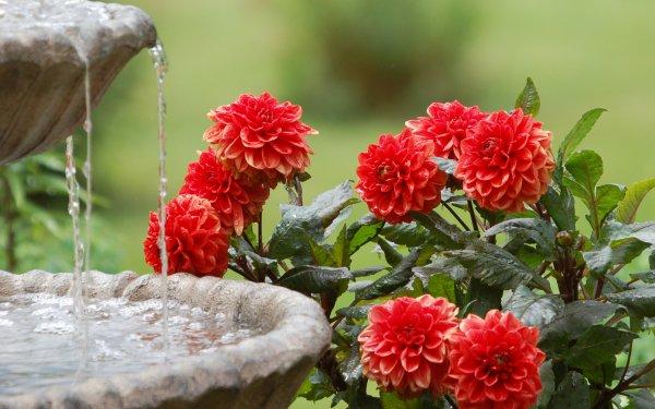 Man Made Flower Dahlia Red Flower Fountain HD Wallpaper | Background Image