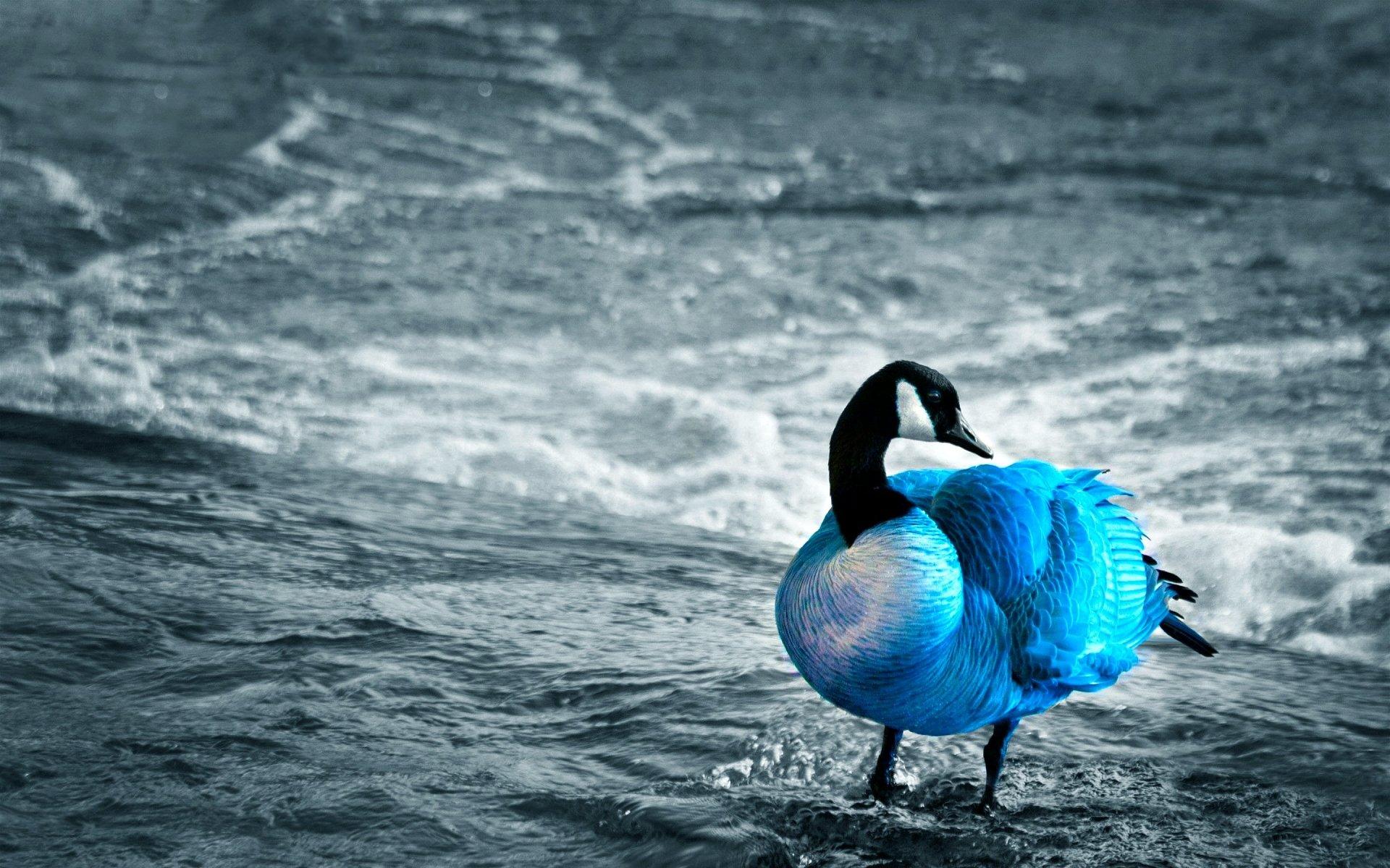 Animal - Canada Goose  Bird Blue Shore Wallpaper