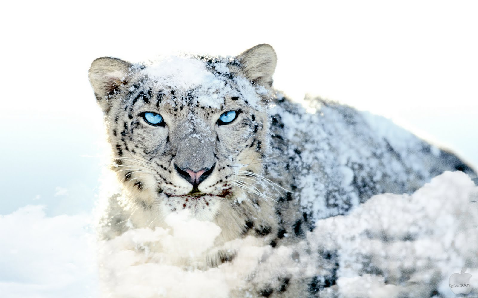 Genial 271 Snow Leopard ...