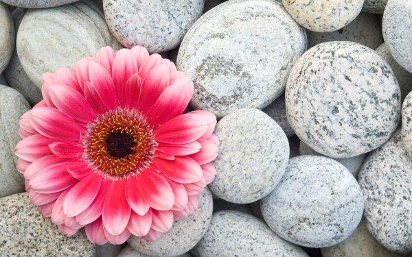 Terre/Nature Fleur Fleurs Gerbera Fond d'écran HD | Image