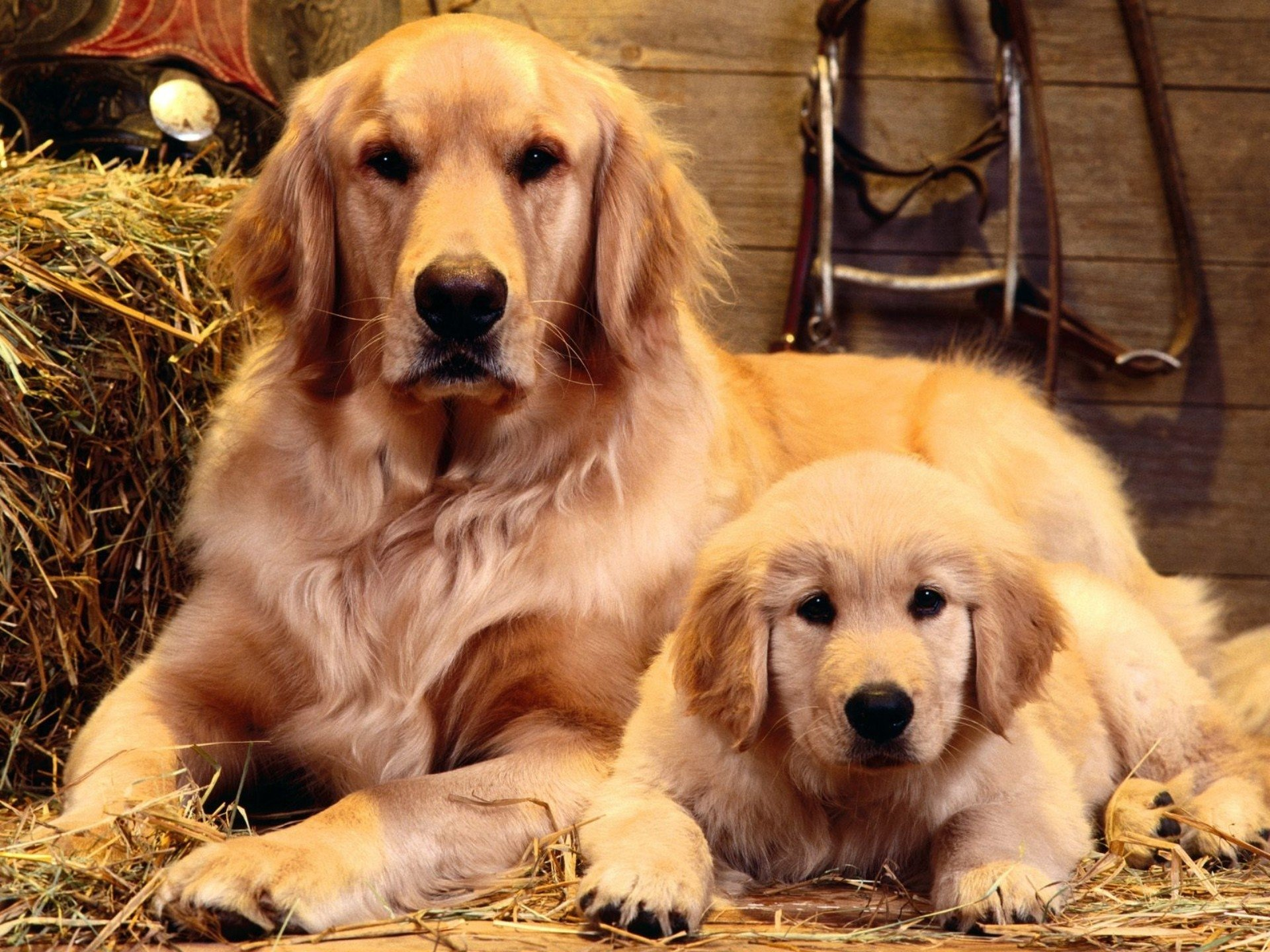 Golden Retriever Hd Wallpaper Background Image 1920x1440 Id