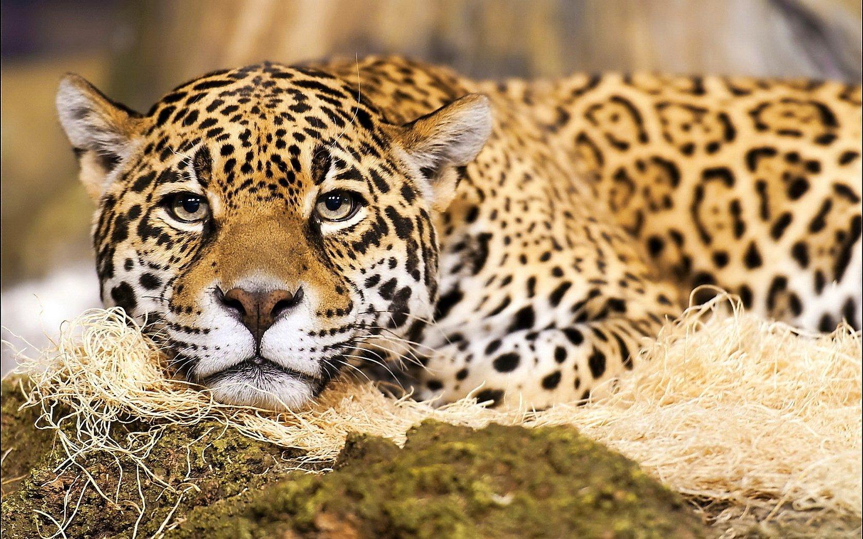jaguar computer wallpapers desktop backgrounds