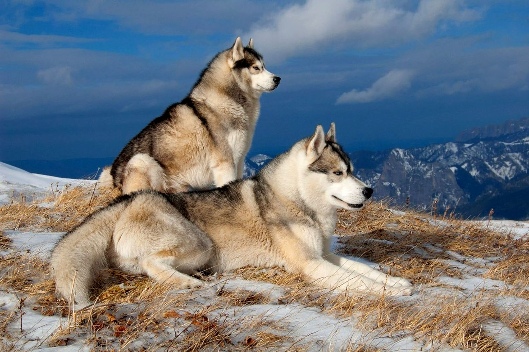 54 Siberian Husky Hd Wallpapers Background Images Wallpaper Abyss
