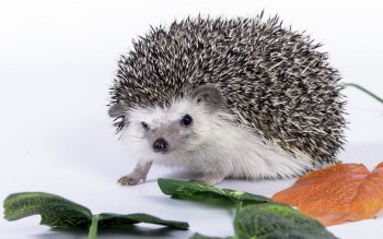 Animalia - Hedgehog Wallpapers and Backgrounds ID : 329870
