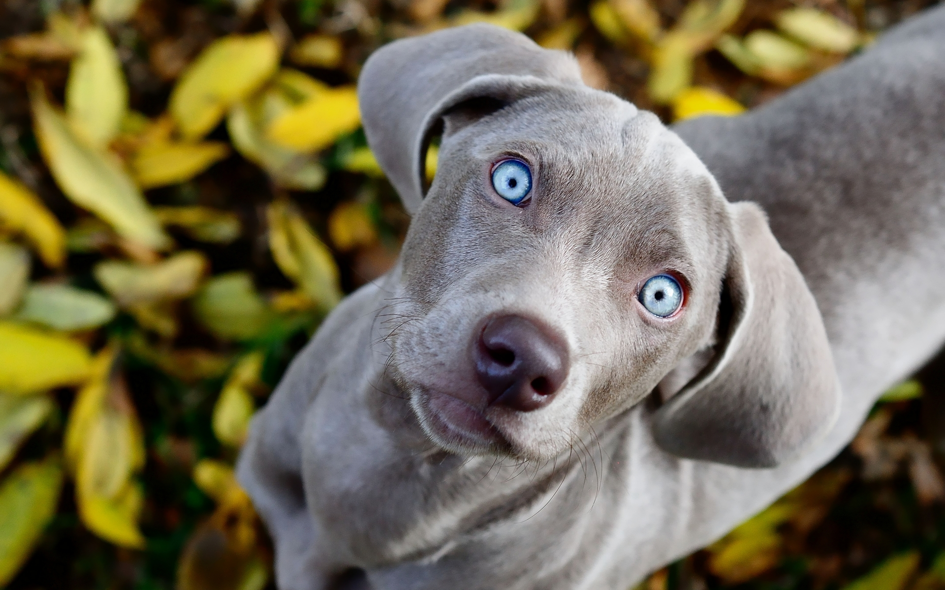 27 weimaraner hd wallpapers background images wallpaper abyss. Black Bedroom Furniture Sets. Home Design Ideas