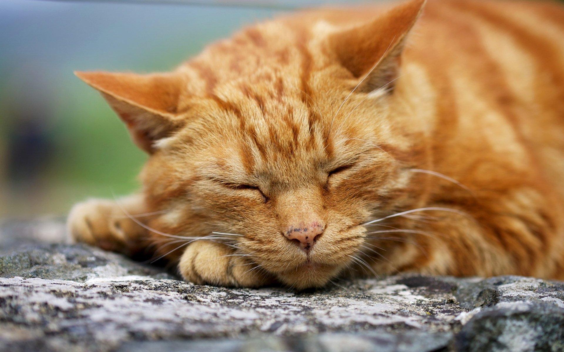 Ginger Cat Fondo De Pantalla Hd Fondo De Escritorio
