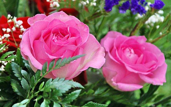 Earth Rose Flowers Flower Pink Rose HD Wallpaper | Background Image