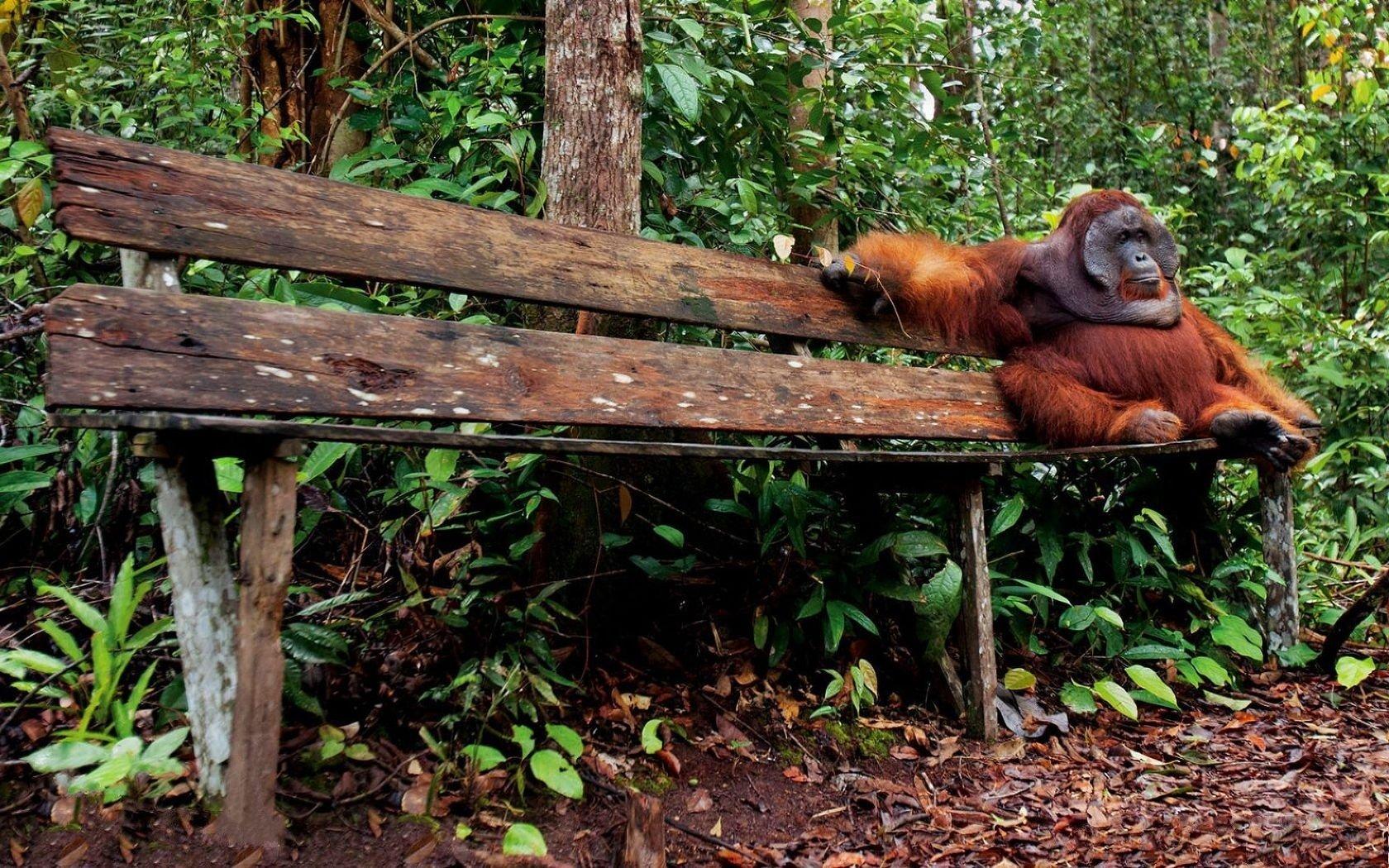 Orangutan Wallpaper And Background Image 1680x1050 Id332918