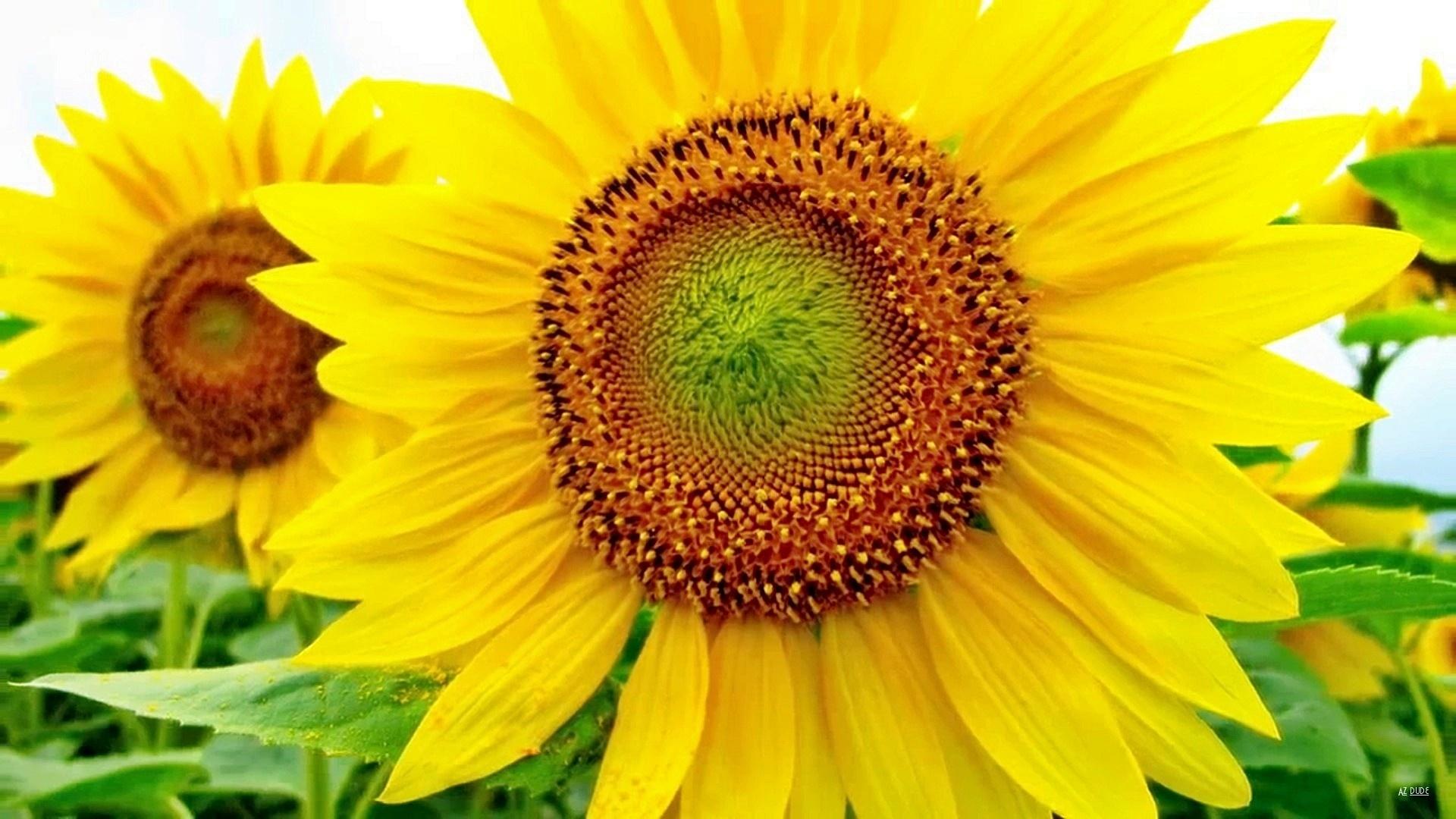 Sunflower HD Wallpaper | Background Image | 1920x1080 | ID ...