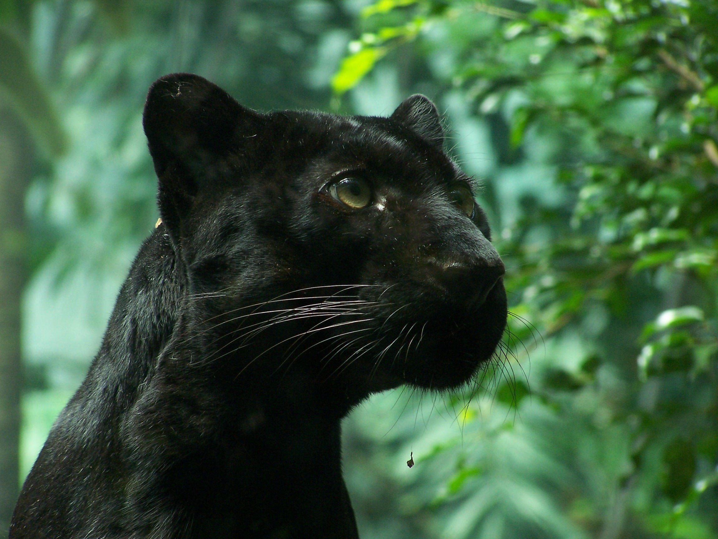 black panthers cats wallpaper viewing gallery