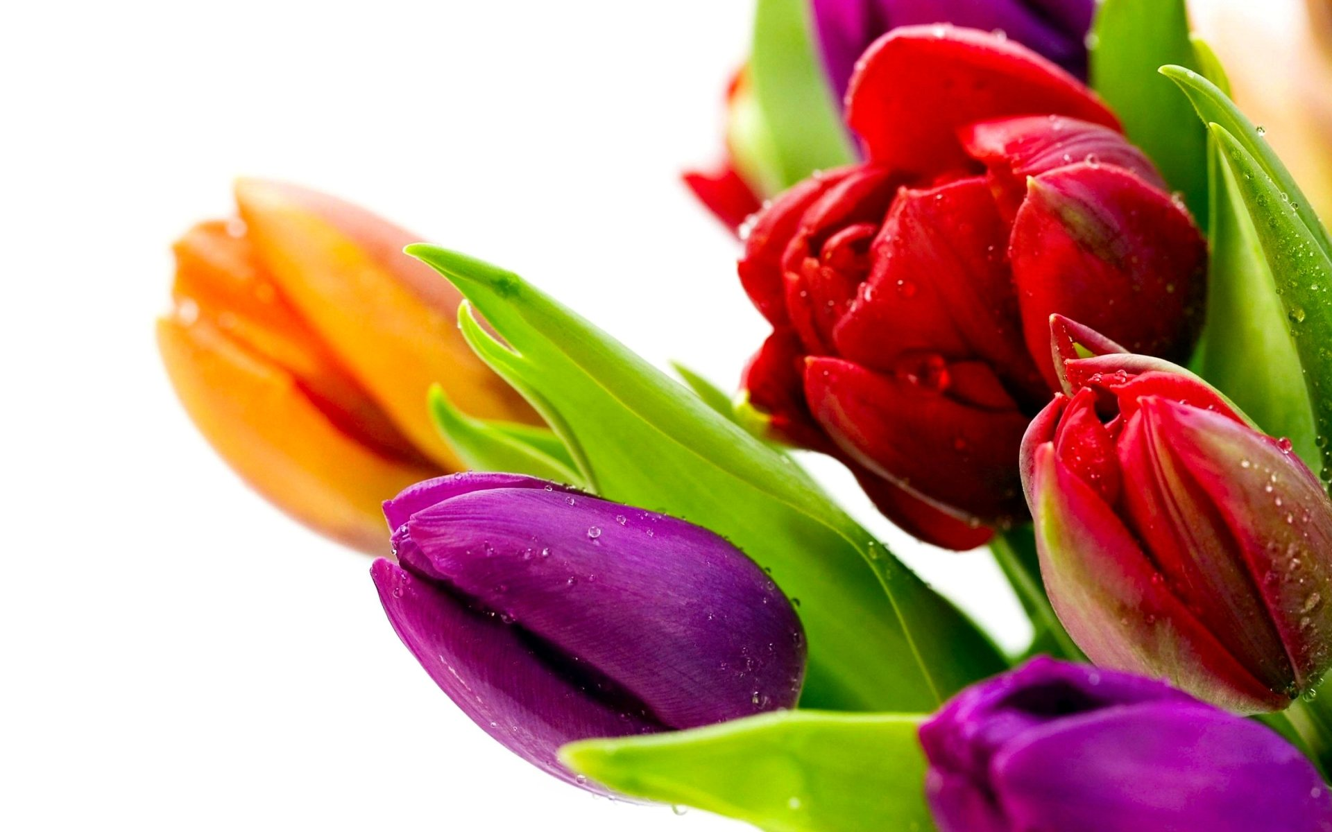 Earth - Tulip  Flower Colorful Violet Green Red Orange Wallpaper