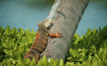 Animal - Iguana Wallpapers and Backgrounds ID : 333038