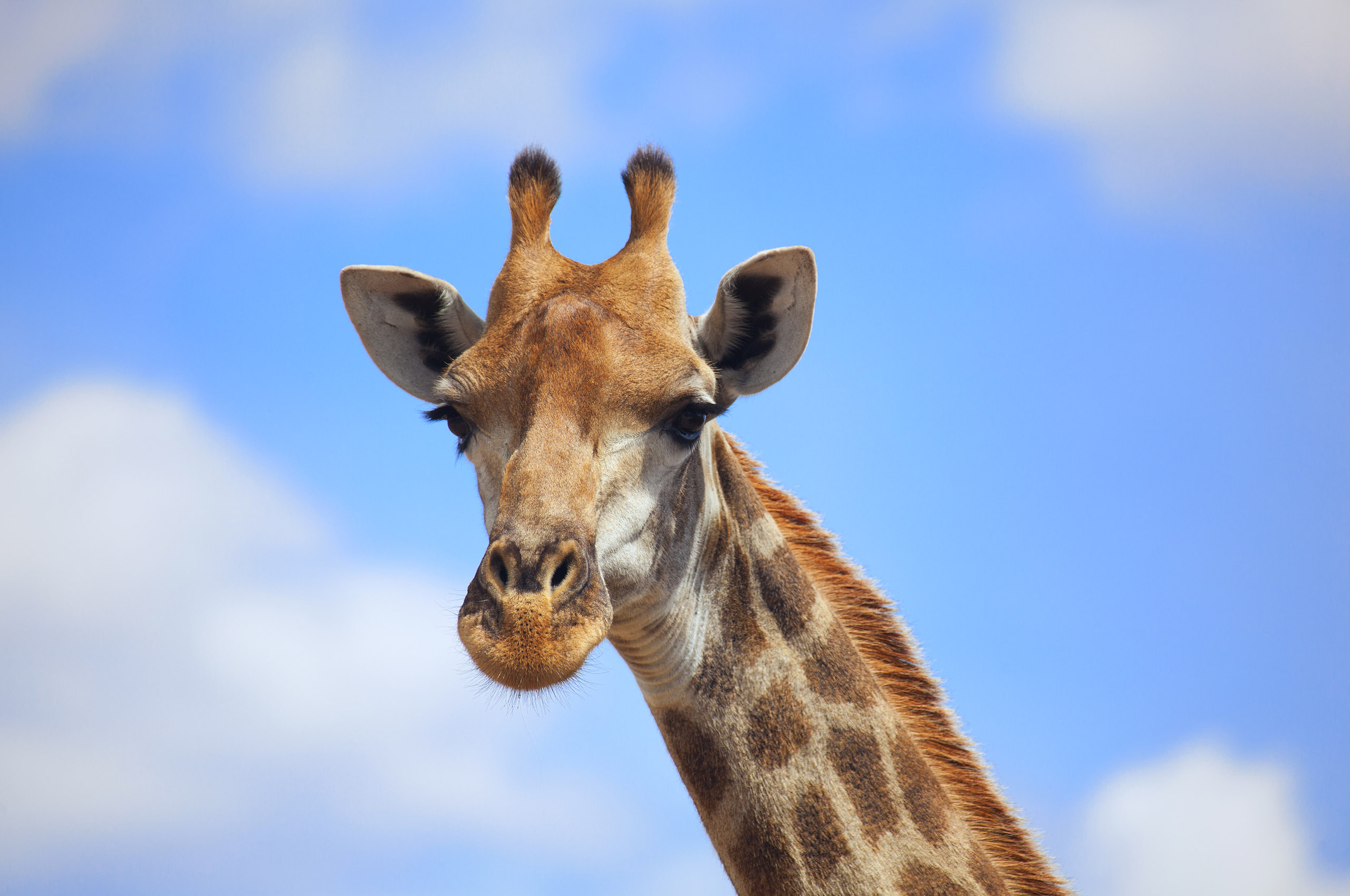 Hd Animal Wallpapers Cool Images Wild Life Download: Giraffe Full HD Wallpaper And Background Image