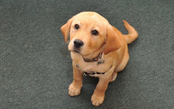 Animal Labrador Retriever Dogs Puppy Dog HD Wallpaper | Background Image