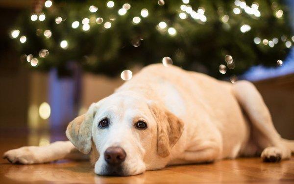 Animal Labrador Retriever Dogs Dog Bokeh HD Wallpaper | Background Image