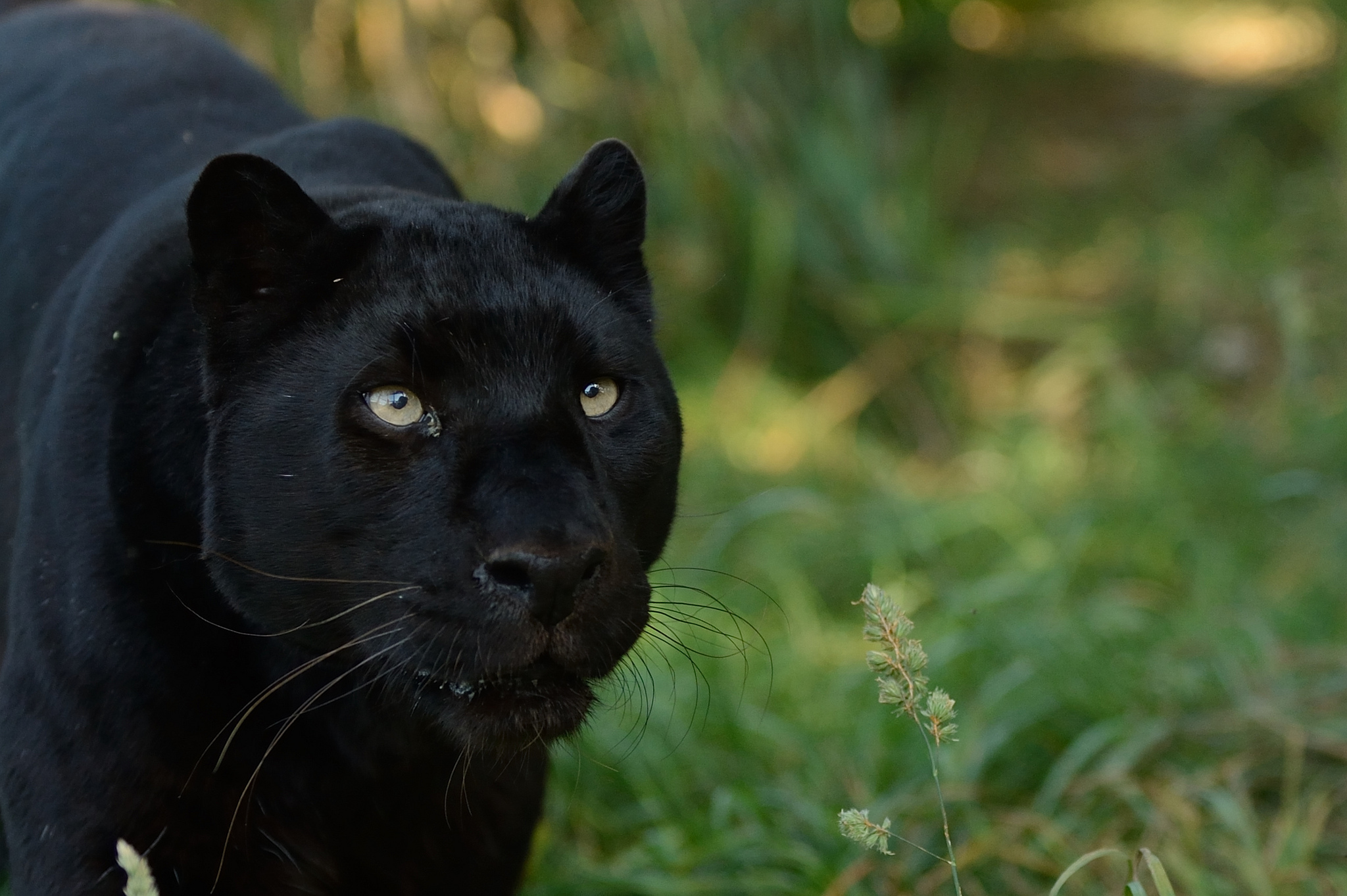 Black Panther Animal Wallpapers: Black Panther Animal Wallpaper
