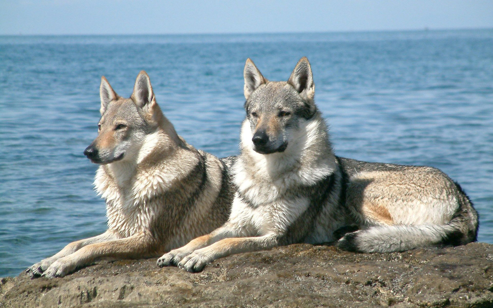 Animal - Wolf  Wallpaper