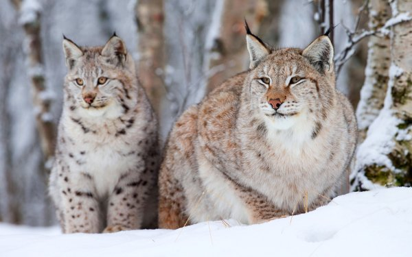 Animal Bobcat Cats HD Wallpaper | Background Image