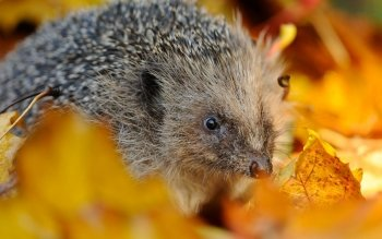 Animal - Hedgehog Wallpapers and Backgrounds ID : 337305