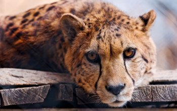 Djur - Cheetah Wallpapers and Backgrounds ID : 338072