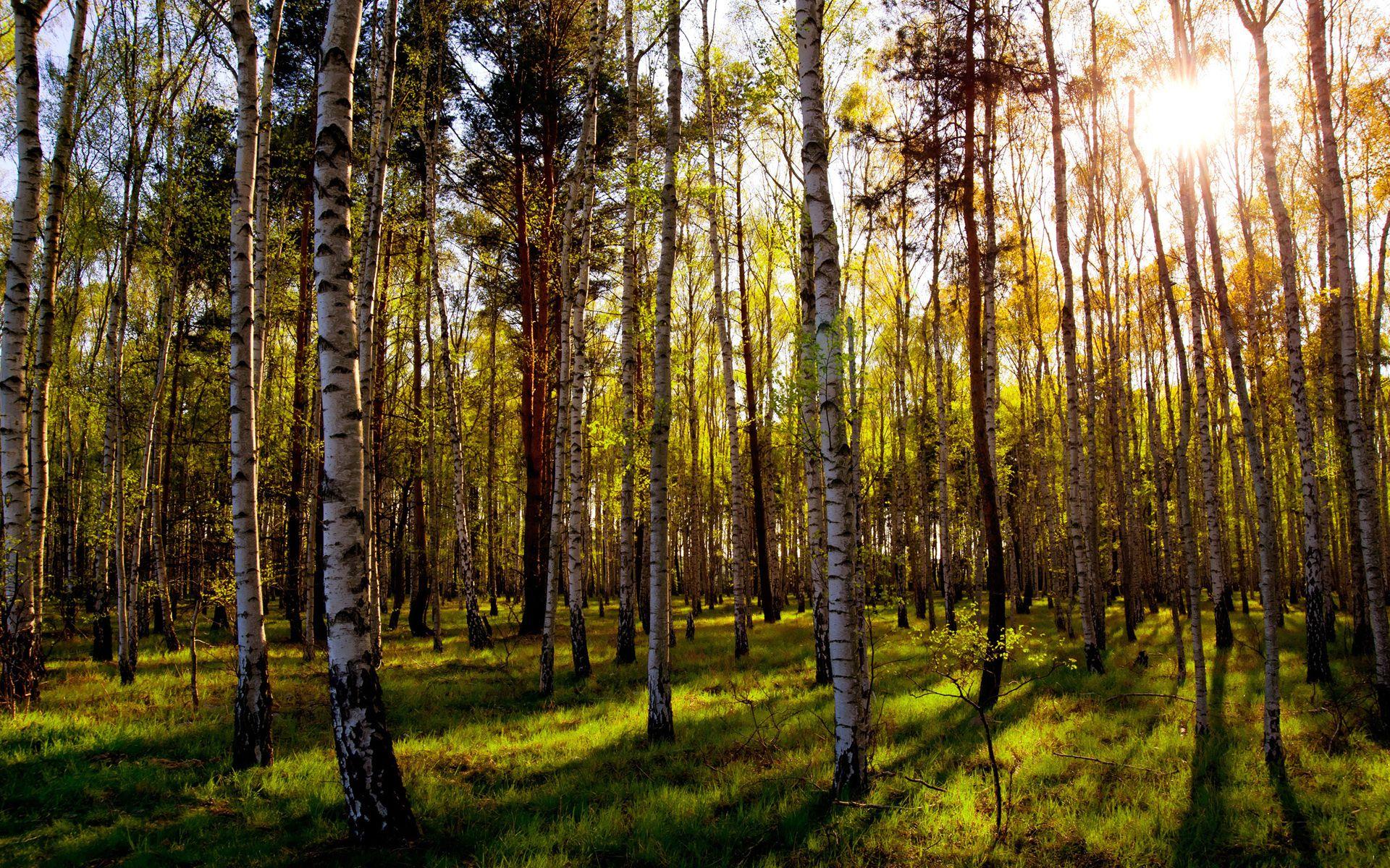Березовый лес картинки