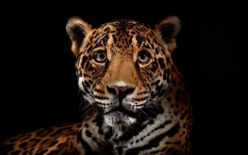 Animalia - Leopard Wallpapers and Backgrounds ID : 339788