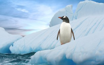 Animal - Penguin Wallpapers and Backgrounds ID : 340527