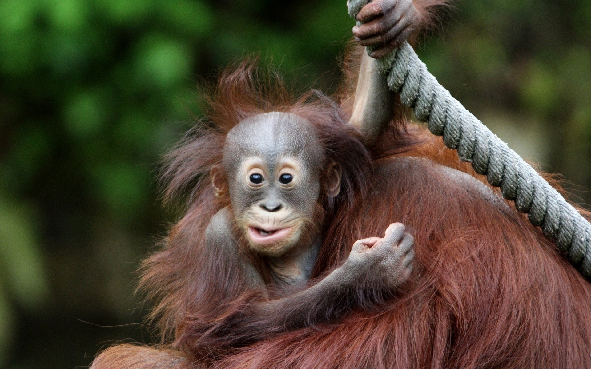 Orangutan Hd Wallpaper Background Image 1920x1200 Id341139
