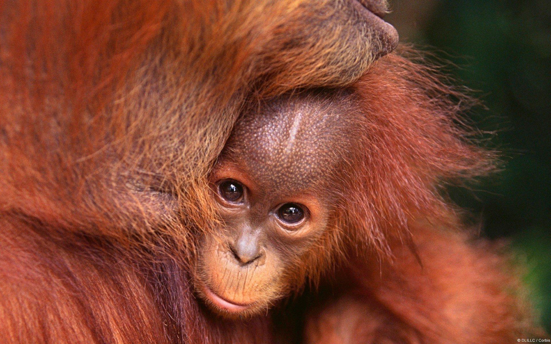 Orangutan Hd Wallpaper Background Image 1920x1200 Id341087