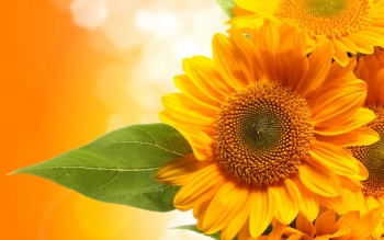 Earth - Sunflower Wallpapers and Backgrounds ID : 341387