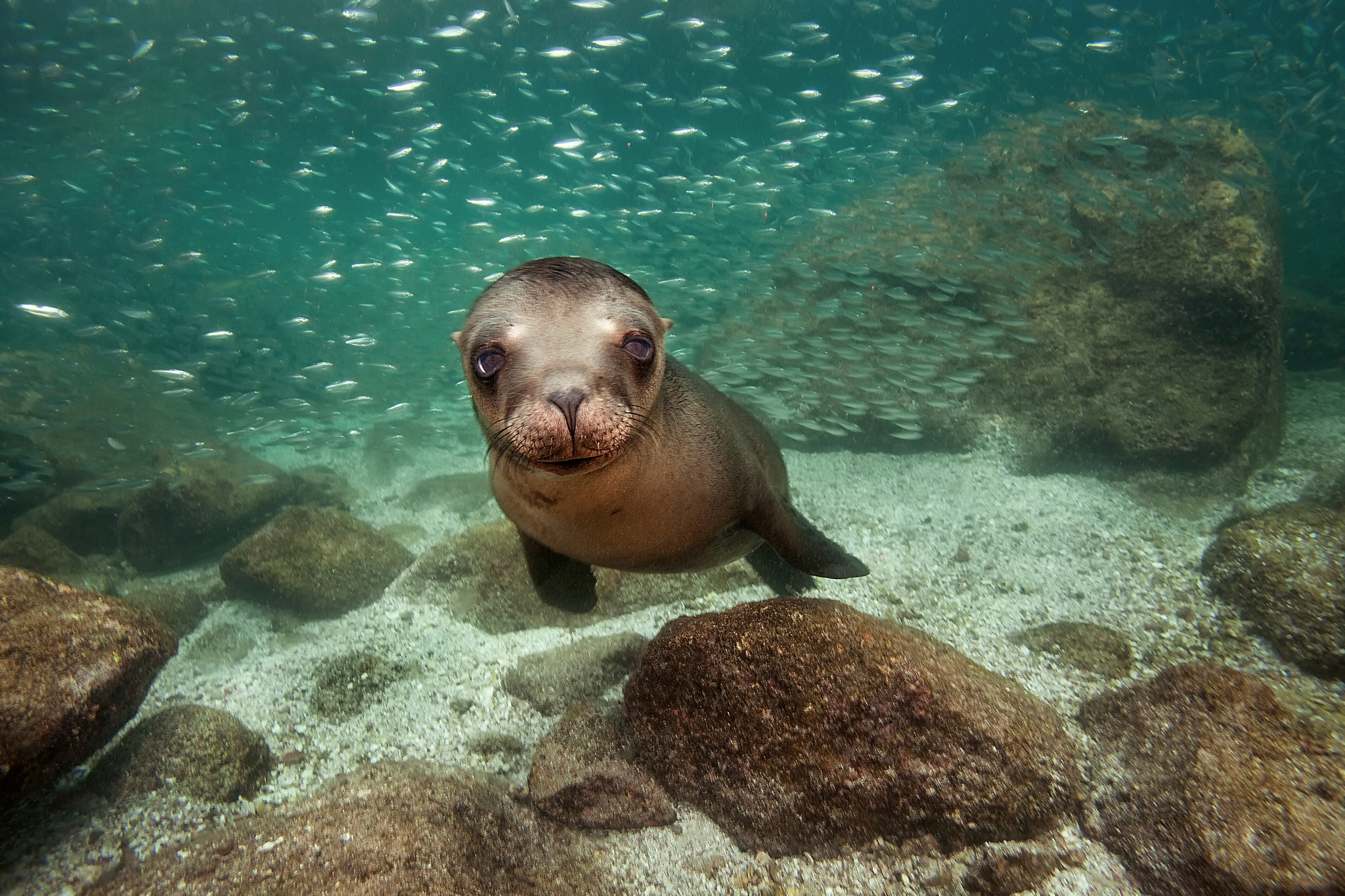 Sea Lion Full HD Wallpaper and Background   2048x1365   ID ...