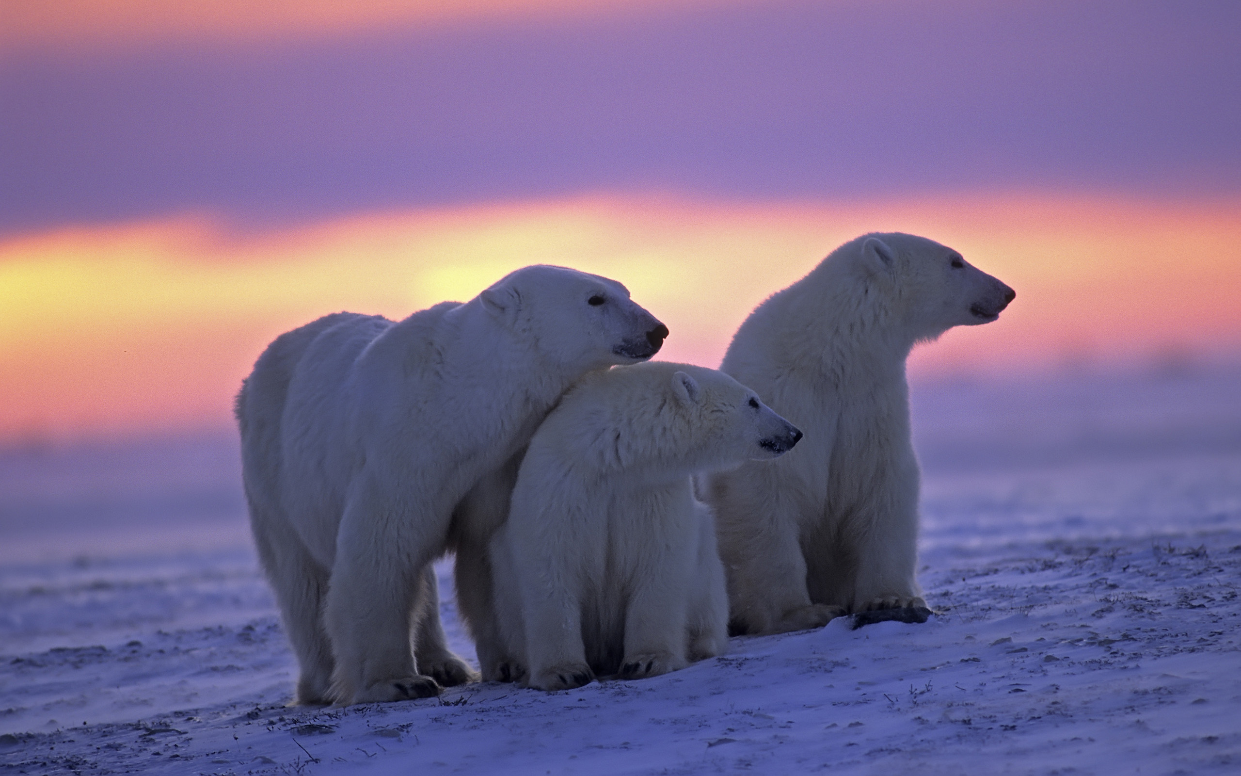 polar bear hd wallpaper | background image | 2560x1600 | id:343452