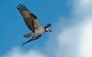 Animal - Falcon Wallpapers and Backgrounds ID : 343484