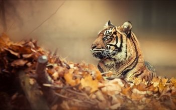 Animal - Tiger Wallpapers and Backgrounds ID : 343485
