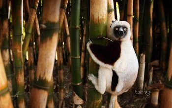 Animal - Lemur Wallpapers and Backgrounds ID : 343487