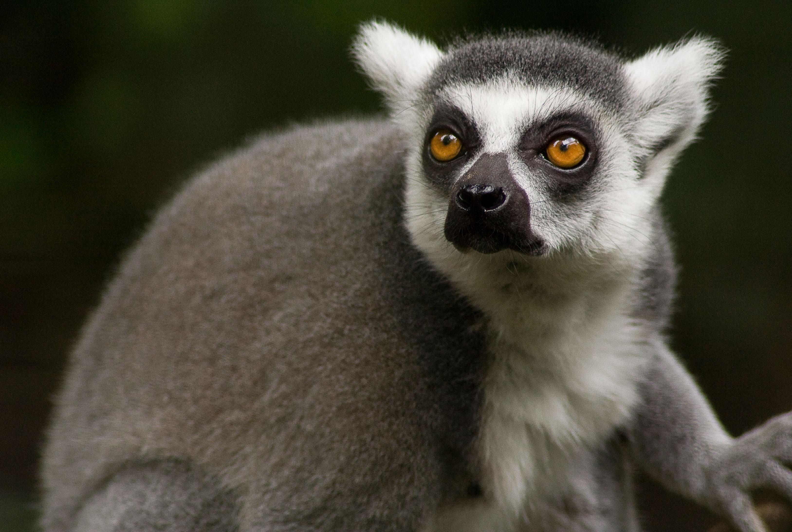 Top Lemur Wallpaper - 344050  Trends_694039.jpg