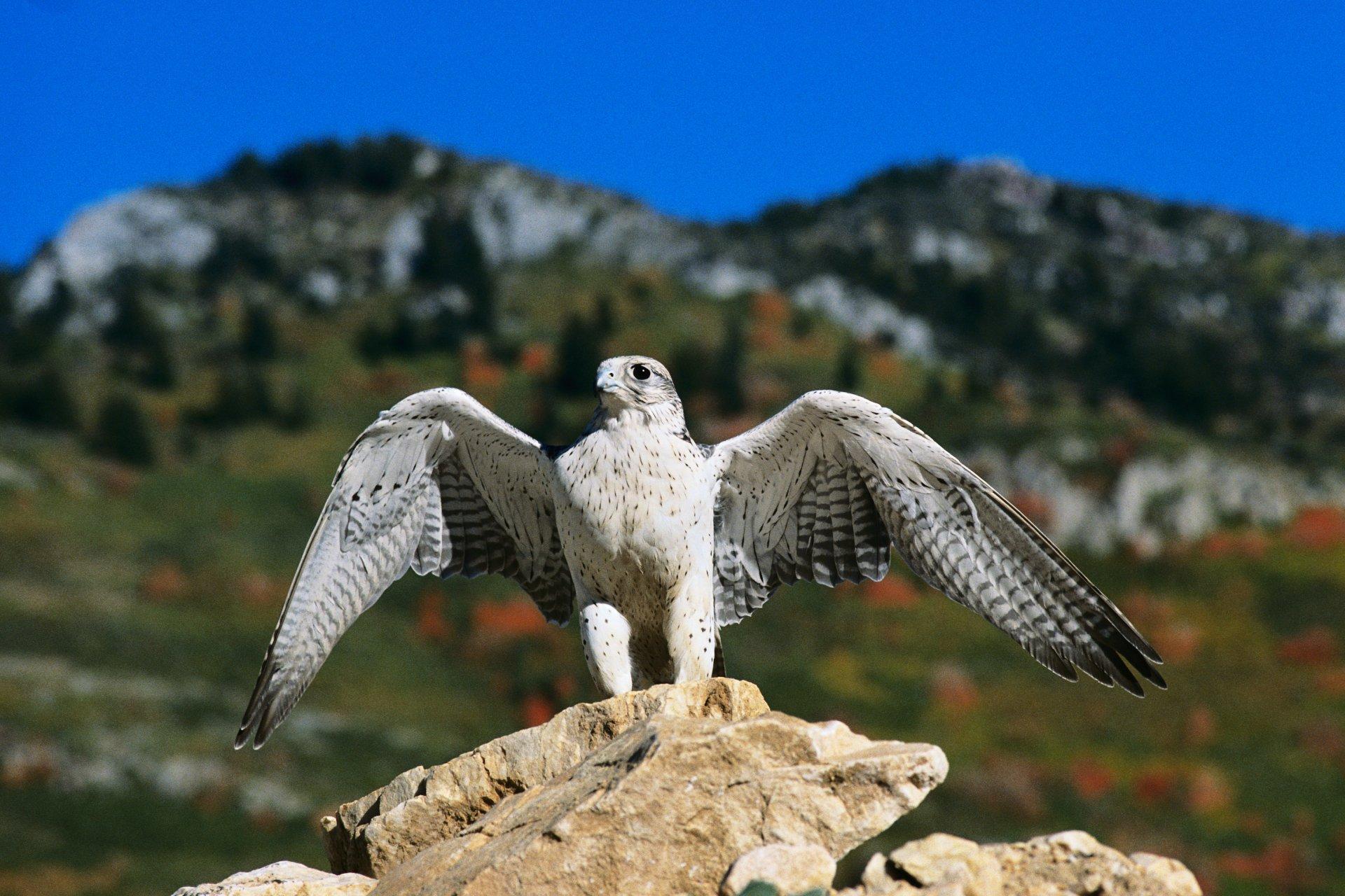 Animal - Bird  Wallpaper