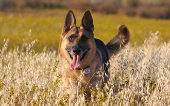 Animal - German Shepherd Wallpapers and Backgrounds ID : 344352
