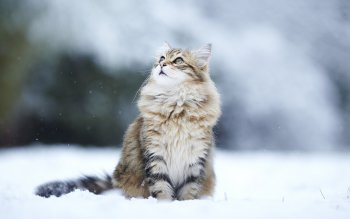 Animal - Cat Wallpapers and Backgrounds ID : 344752