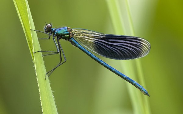 Animal Dragonfly Insects Insect Wings HD Wallpaper | Background Image