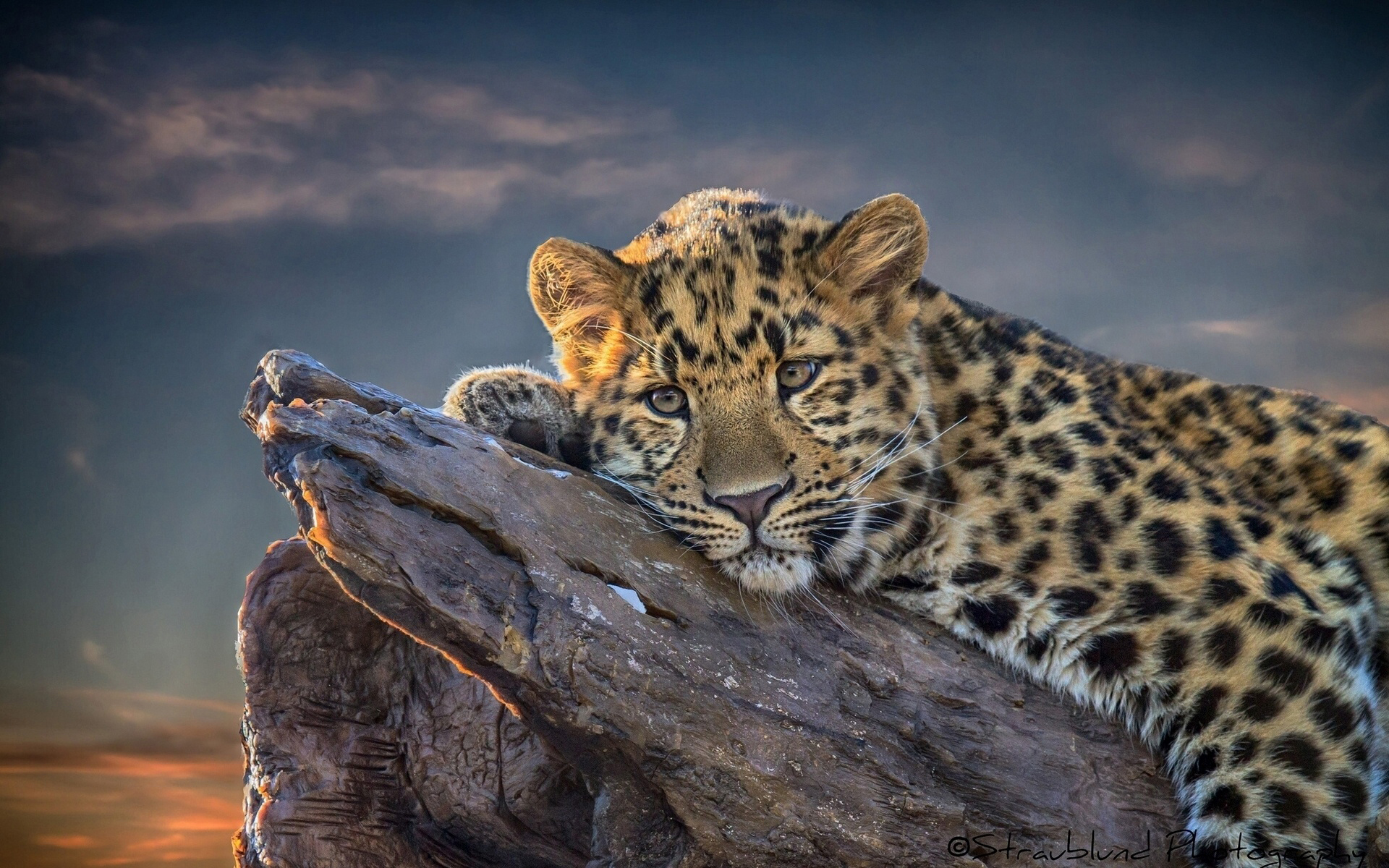 Leopard Full HD Wallpaper And Background Image
