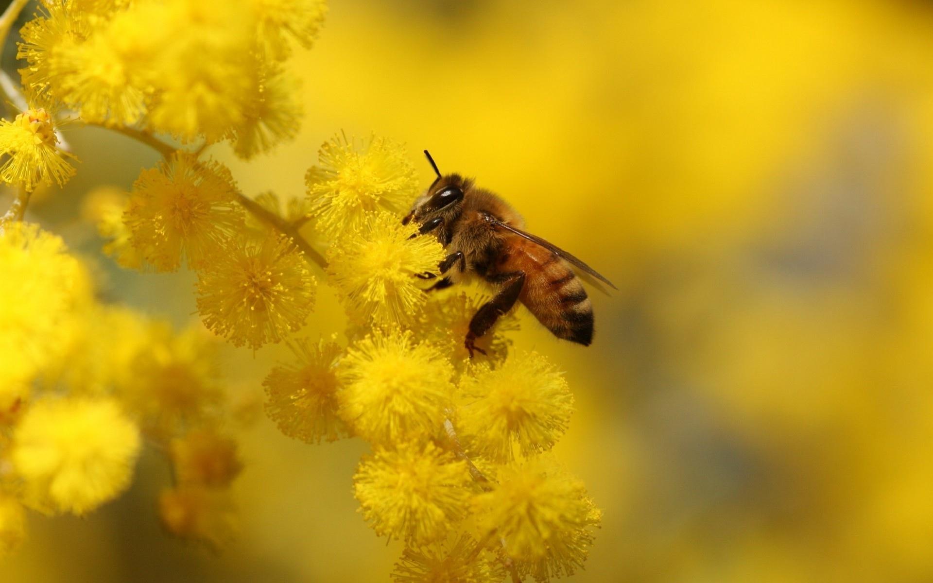 Bee Hd Wallpaper Background Image 1920x1200 Id