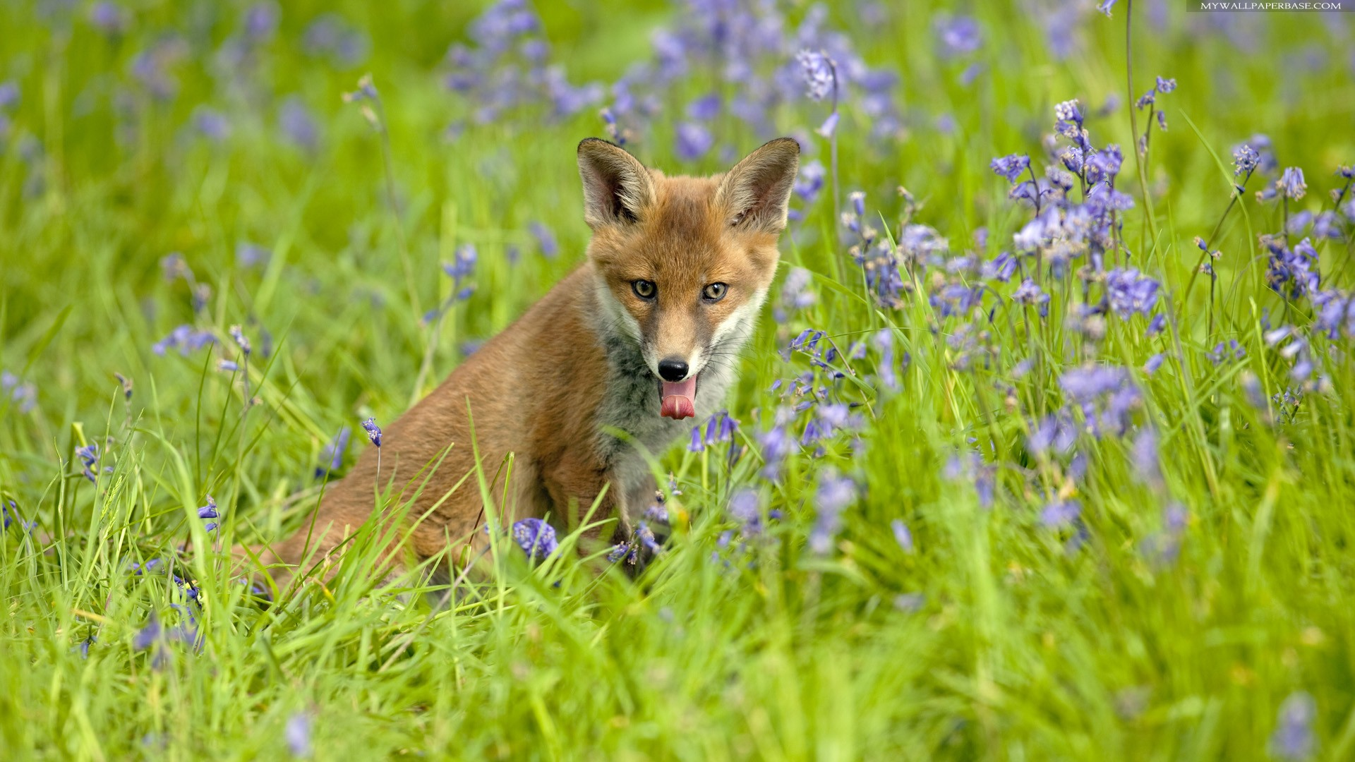 Download Wallpapers Download 2790x2547 Animals Grass: Fox Full HD Wallpaper And Background Image