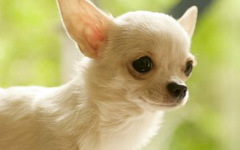 27 Chihuahua HD Wallpapers | Background