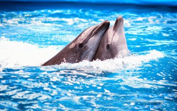 Animal - Dolphin Wallpapers and Backgrounds ID : 346552