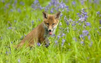 Animal - Fox Wallpapers and Backgrounds ID : 346851