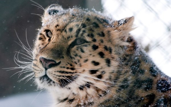 Animal Leopard Cats Snow Leopard HD Wallpaper   Background Image