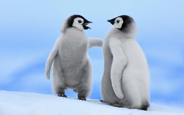 Animal Penguin Birds Penguins Bird HD Wallpaper | Background Image