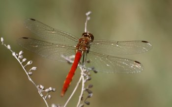 Animal - Dragonfly Wallpapers and Backgrounds ID : 349617